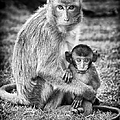 Mother And Baby Monkey Black And White by Adam Romanowicz