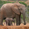 Mother And Calf by Bruce J Robinson