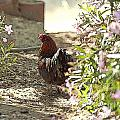 Mr. Rooster Takes a Stroll Print by Artist and Photographer Laura Wrede