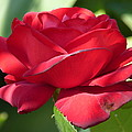 My First Rose by Janina  Suuronen