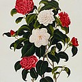 Myrtle Leaved Camellia by Clara Maria Pope