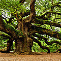Mystical Angel Oak Tree by Louis Dallara