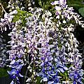 Nancys Wisteria 3 Db by Rich Franco