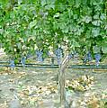 Napa Vineyard by Paul Tagliamonte