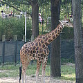National Zoo - Giraffe - 12124 by DC Photographer