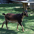 National Zoo - Goat - 01134 by DC Photographer