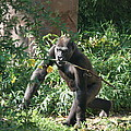 National Zoo - Gorilla - 121220 by DC Photographer
