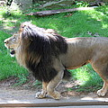 National Zoo - Lion - 01131 Print by DC Photographer