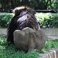 National Zoo - Lion - 011314 by DC Photographer
