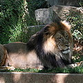National Zoo - Lion - 011317 by DC Photographer