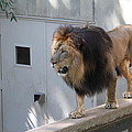 National Zoo - Lion - 01138 Print by DC Photographer