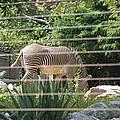 National Zoo - Zebra - 12121 by DC Photographer