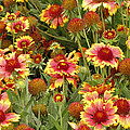 nature - flowers -Blanket Flowers Six -photography by Ann Powell