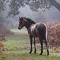 New Forest Pony by Dave Pressland FLPA