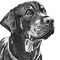 Noble Rottweiler Sketch by Kate Sumners