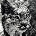 North American Lynx In The Wild. by Bob Orsillo