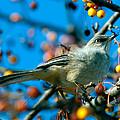 Northern Mockingbird by Bob Orsillo