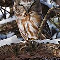 Northern Saw-whet Owl.. by Nina Stavlund