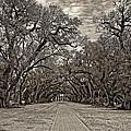 Oak Alley 3 Sepia by Steve Harrington