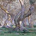 Oak Grove by Gunnar Widforss