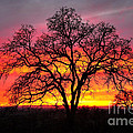 Oak Silhouette by Cheryl Young
