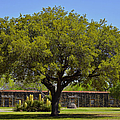Oak Tree Mission San...
