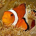 Ocellaris Clown Fish No 1 by Jerry Fornarotto
