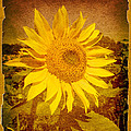 Of Sunflowers Past by Bob Orsillo
