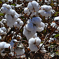 Old Cotton Fields Back Home by Beverly Guilliams