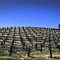 Old Vines Panorama