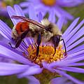 Orange-banded Bee by Rona Black