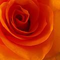 Orange Flame Fatale Garden Rose