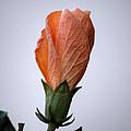 Orange Hibiscus Lax 3 by Deborah Smolinske