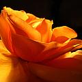Orange Rose Glowing in the Night