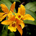 Orange Spotted Lip Cattleya Orchid by Rudy Umans