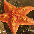 Orange Starfish In California Ocean by Artist and Photographer Laura Wrede