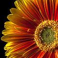 Orange Yellow Mum Close Up by Garry Gay