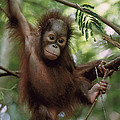 Orangutan Infant Hanging Borneo by Konrad Wothe