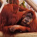 Orangutans Grooming by DiDi Higginbotham