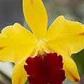 Orchid Beauty - Cattleya - Pot Little Toshie Mini Flares Mericlone Hawaii by Sharon Mau