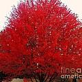 Oregon Red Maple Beauty by Kim Petitt