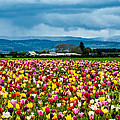 Oregon Tulip Farm - Willamette Valley by Gary Whitton