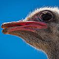 Ostrich Profile by Jean Noren