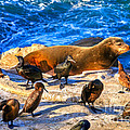 Pacific Harbor Seal Print by Jim Carrell