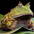 Pacman Frog  by Dirk Ercken