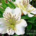 Painterly Alstroemeria by Kaye Menner