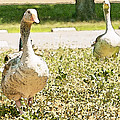 Pair Of Geese by Artist and Photographer Laura Wrede