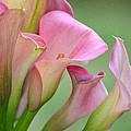 Pale Pink Blush by Fraida Gutovich