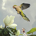 Parrot And Magnolia Tree by Schwartz
