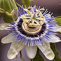 Passiflora Caerulea by Caitlyn  Grasso